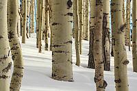Aspens in snow - Arizona