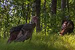 Eastern wild turkeys in a northern Wisconsin woodland.