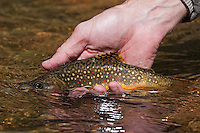 Brook trout heading home in Rocky Mountain National Park, Colorado
