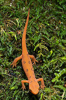 Red eft (terrestrial juvenile stage) of the Red-spotted Newt (Notophthalmus viridescens), a common salamander of eastern North American forests. Also known as the Eastern Newt. Hocking State Forest, Ohio, USA.