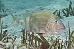 Calamus penna, Sheepshead porgy, Florida Keys