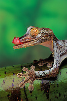 Henkel's Leaf-Tailed Gecko..Native to Madagascar. (Uroplatus henkeli)..Tongue cleans eye like a windshield wiper.