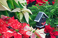 Pointsettia, close up,garden,gardens,flower,flowers,plant,plants,growth,growing ,botanic,botanics,botanical,botany,flowering plants,flowering plant, ,flora,floras,floral,bloom,blooming,blooms, blossoms, botanical garden,horticulture,landscaping,flower garden,bird house