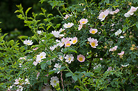 Hunds-Rose, Hundsrose, Heckenrose, Wildrose, Rose, Rosen, Rosenblüten, Blüte, Blüten, Rosenblüte, Wildrosen, Heckenrosen, Rosa canina, Common Briar, Briar, Dog Rose, Eglantier commun, Rosier des chiens