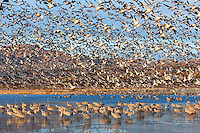 Snow Geese (Chen caerulescens) by the thousands take flight in full blast-off shortly after sunrise, leaving Sandhill Cranes (Grus canadensis) behind at Bosque del Apache National Wildlife Refuge in San Antonio, New Mexico