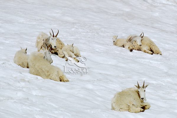 Group of mountain goat nannies with kids staying cool on mountain snowpatch.  Washington.  Summer.   Mountain goats do not sweat or pant.  They often use small patches of snow to cool off on hot summer days.