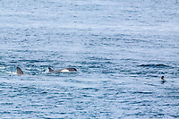 killer whale or orca, Orcinus orca, Type B2 killer whale, Orcinus orca, hunting gentoo penguin, Pygoscelis papua, in Dallmann Bay, Antarctica, Southern Ocean