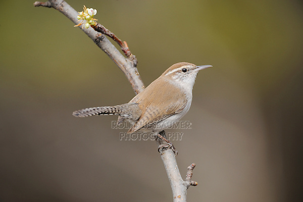 Bewick's Wren (Thryomanes bewickii), adult perched, New Braunfels, San Antonio, Hill Country, Central Texas, USA