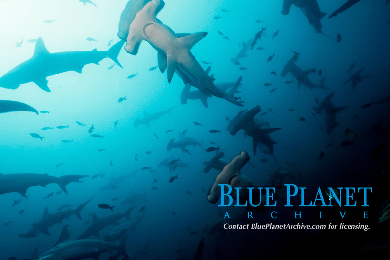 schooling scalloped hammerhead sharks, Sphyrna lewini, Cocos Island, Costa Rica, East Pacific Ocean