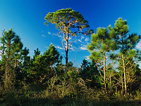 Pine trees, Oscar Scherer State Park, Florida, USA