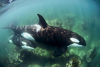 killer whale, Orca, Orcinus orca, mother, calf, passing over shallow rocky reef, Northland, New Zealand, Pacific Ocean, series 1 of 3, researcher has named them Miracle NZ 63 (mother) & Magic NZ 121 (calf)