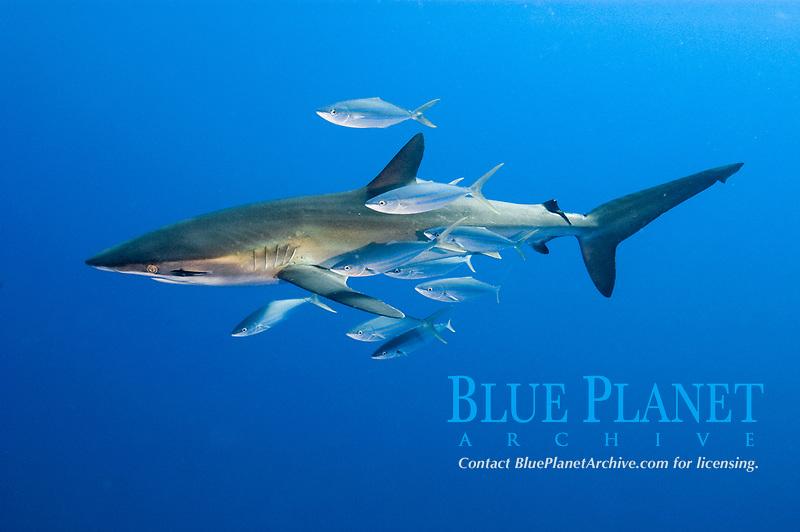 Silky shark, Carcharhinus falciformis at El Canyon, San Benedicto Island, Revillagigedos, Mexico, Pacific Ocean