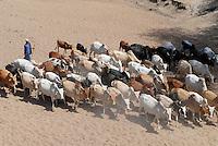 TANZANIA Meatu, cattle in dry river bed in search for water / TANSANIA Meatu, Viehherde im trocknen Flussbett auf Suche nach Wasser