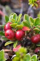 Echte Bärentraube, Immergrüne Bärentraube, Frucht, Früchte, Beeren, Arctostaphylos uva-ursi, kinnikinnick, pinemat manzanita, bearberry, mountain cranberry, fruit, Arctostaphyle raisin-d'ours, raisin-d'ours commun, Raisin d'ours, Busserole