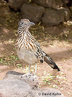 0610-1101  Greater Roadrunner (Chaparral Cock or Ground Cuckoo), Geococcyx californianus  © David Kuhn/Dwight Kuhn Photography