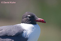 0907-0903  Laughing Gull Close Up of Head, Larus atricilla (syn. Leucophaeus atricilla) © David Kuhn/Dwight Kuhn Photography