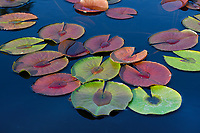 Water Lily Leaves, San Angelo
