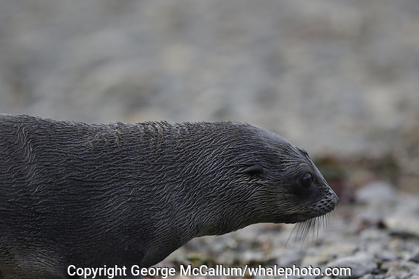 Antarctic Fur seal, Arctocephalus gazella ,pup on beach at Gryviken whaling station South Orkney Islands, Scotia sea Southern Ocean, Antarctica