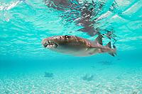 nurse shark, Ginglymostoma cirratum, Belize, Central America, Caribbean Sea, Atlantic Ocean