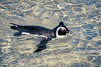 African or jackass penguin, Spheniscus demersus, swimming, Cape Peninsula, South Africa
