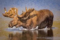 moose, Alces alces, bull walking in a kettle pond, Denali National Park, interior of, Alaska, USA