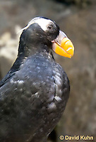 0725-1005  Tufted Puffin with Transitional Plumage, North Pacific Seabird, Fratercula cirrhata  © David Kuhn/Dwight Kuhn Photography