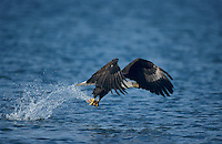 Bald Eagle, Haliaeetus leucocephalus,adult in flight with fish, Homer, Alaska, USA