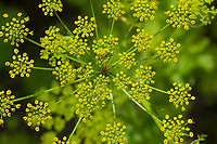Echter Pastinak, Pastinake, Hammelsmöhre, Pastinaca sativa, parsnip, Le panais cultivé