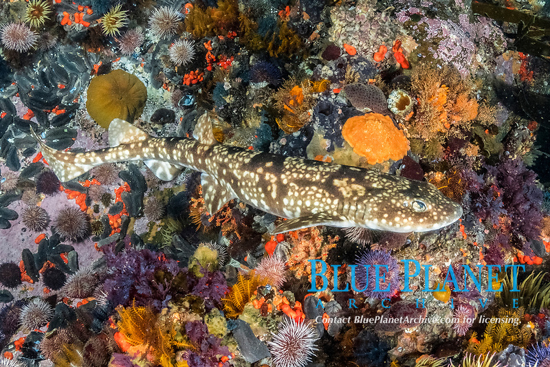 dark shyshark, Haploblepharus pictus, aka pretty Happy, Millers Point, False Bay, South Africa