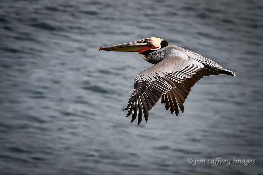 A Brown Pelican in flight at La Jolla Cove near San Diego, California.