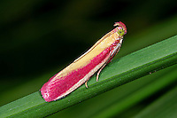 Rhabarber-Zünsler, Rhabarberzünsler, Oncocera semirubella, Rosy-striped Knot-horn. Zünsler, Pyralidae