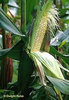 CR01-007b  Corn - Lancelot variety