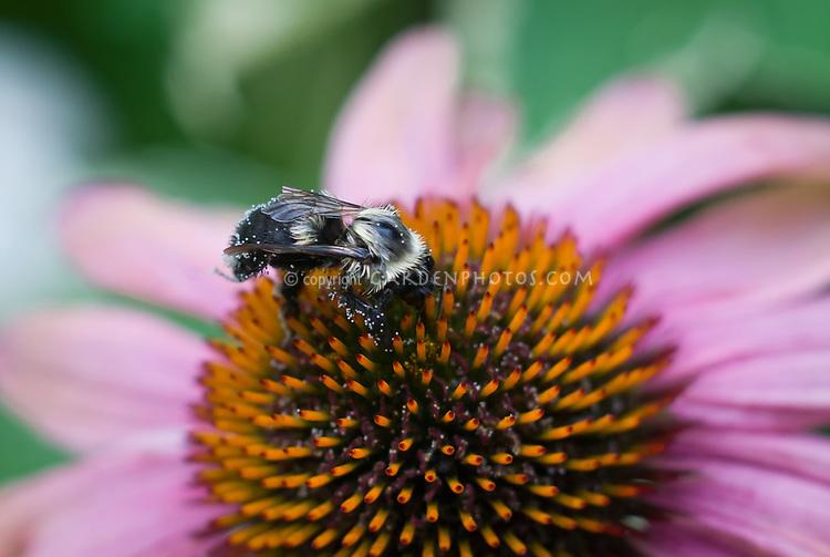 Bee insect pollinating Echinacea purpurea flower bumblebee