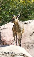 0604-1104  Klipspringer (Rock Jumper Antelope), Small Antelope on Boulders, Oreotragus oreotragus  © David Kuhn/Dwight Kuhn Photography