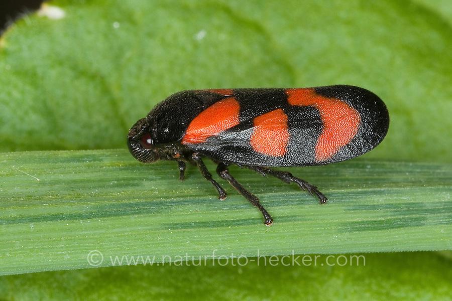 Blutzikade, Blut-Zikade, Cercopis vulnerata, red-and-black froghopper