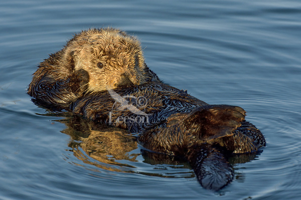 Southern Sea Otter (Enhydra lutris) resting in sheltered cove.  Central California Coast.