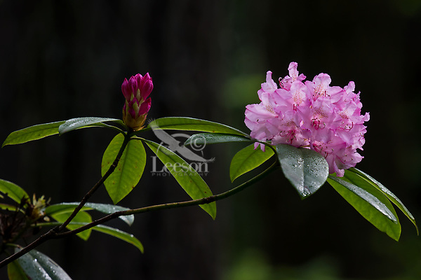 Wild Pacific rhododendron cluster of blossoms and buds also known as coast rhododendron or big leaf rhododendron (Rhododendron macrophyllum).  Olympic Peninsula, WA.  May.  Rhododendron's are Washington State flower.
