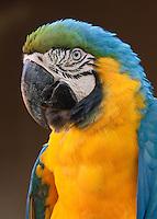 Blue Gold Macaw - Captive Portrait