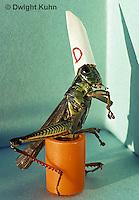 GF01-001c  Funny Grasshopper - dunce sitting in corner at school