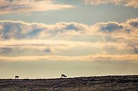Caribou cross Archimedes ridge in the Utukok Uplands, National Petroleum Reserve Alaska.
