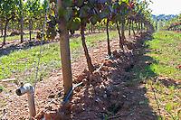 cabernet sauvignon irrigation tubes vineyard herdade de sao miguel alentejo portugal