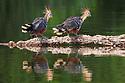 A pair of hoatzin (Opisthocomus hoazin) (also known as skunk bird, stink bird or Canje pheasant), Cocha Salvador ox-bow lake. Manu Biosphere Reserve, lowland Amazon rainforest, Peru.<br /> Manu Biosphere Reserve, Amazonia, Peru. November.