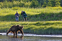 Alaska Brown Bear, Coastal Grizzly Grizzly Bear or brown bear alaska Alaska Brown bears also known as Costal Grizzlies or grizzly bears Grizzly Bear Photos, Alaska Brown Bear with cubs. Purchase grizzly bear fine art limited edition prints here Grizzly Bear Photo Bear Photos,