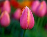 Vashon Island, WA<br /> Pink and yellow tulips