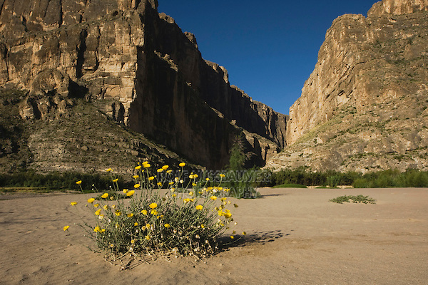 Santa Elena Canyon and Desert Marigold (Baileya multiradiata), Chisos Mountains, Big Bend National Park, Chihuahuan Desert, West Texas, USA