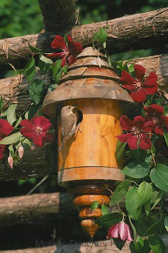 Wren at door of handmade wooden birdhouse bringing good for the baby birds