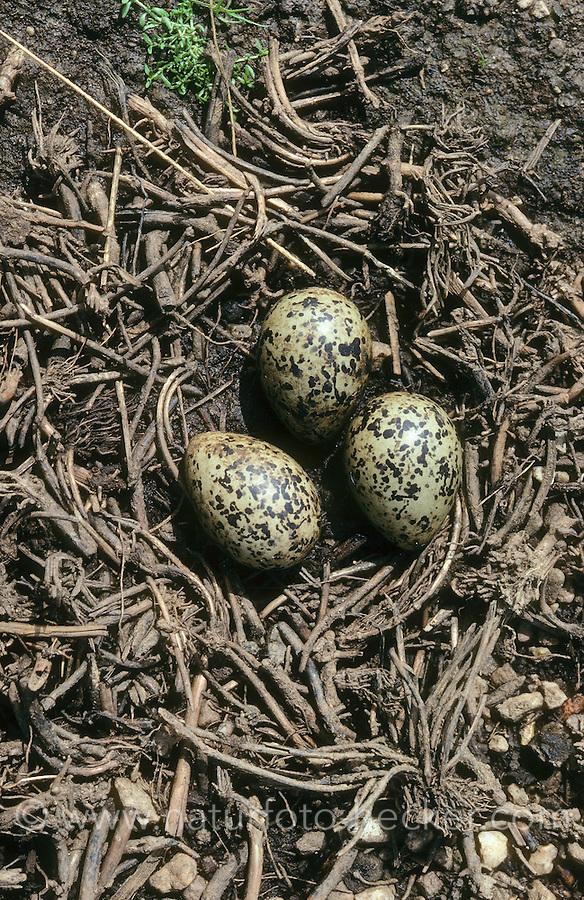 Stelzenläufer, Nest, Gelege mit Eiern, Himantopus himantopus, black-winged stilt, Common Stilt