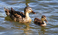 A Mallard and her duckling enjoys the sunshine on the lake at Priory Park, Bedford UK. May 20th 2020  <br /> <br /> Photo by Keith Mayhew