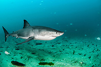 great white shark, Carcharodon carcharias, New Zealand