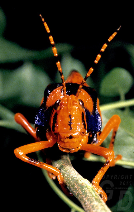 Images from the Book Journey Through Colour and Time,The Leichard Grasshopper only found in Arnhem Land, Northern Territory,of Australia, THIS INSECT IS VERY RARELY SEEN